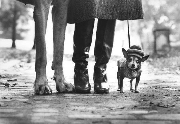США, Нью-Йорк, 1974 г. — Изображение обутых ступней женщины посредине между лапами немецкого дога и маленькой чихуахуа.