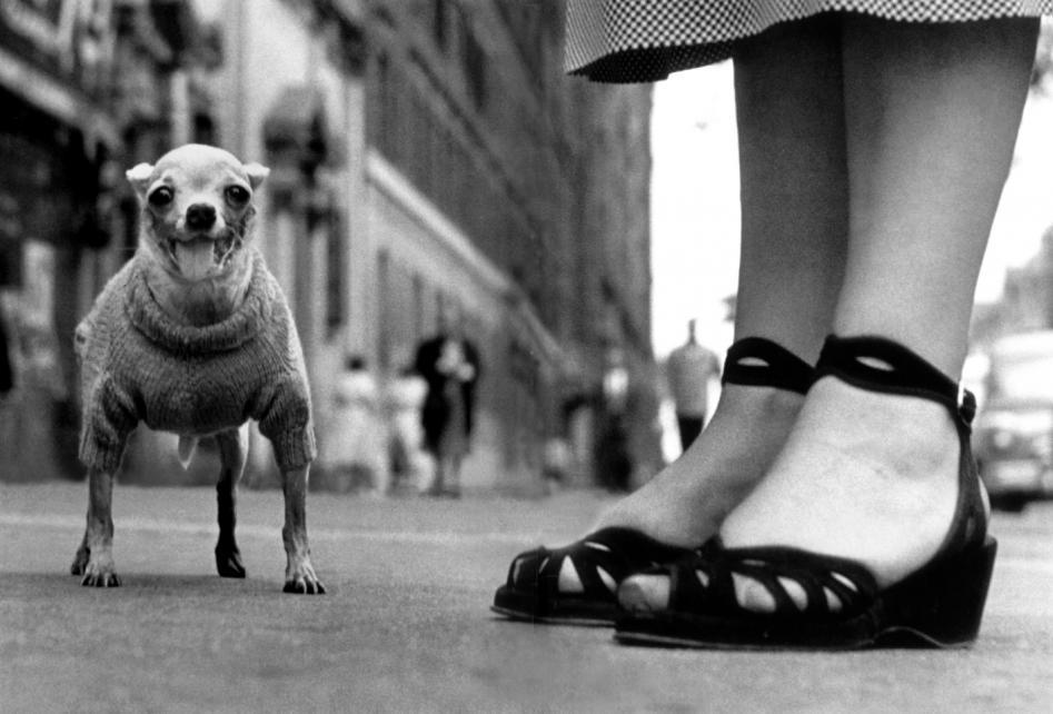 США, Нью-Йорк, 1946 г. — Снимок с уровня асфальта, на котором изображены ноги женщины и собачка чихуахуа в свитере.